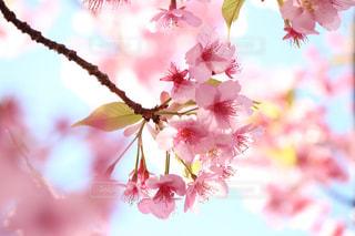 木場の河津桜の写真・画像素材[1049642]