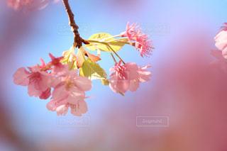木場の河津桜の写真・画像素材[1049644]