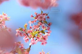 木場の河津桜の写真・画像素材[1049646]