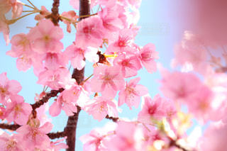 木場の河津桜の写真・画像素材[1049647]