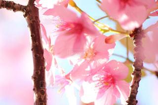 木場の河津桜の写真・画像素材[1049648]