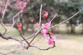 浜離宮庭園の梅の写真・画像素材[1051147]