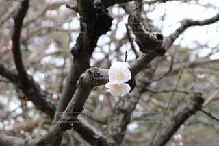 浜離宮庭園の梅の写真・画像素材[1051148]