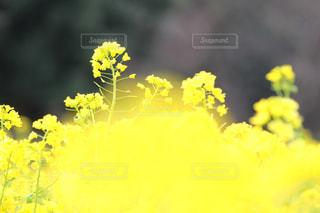 浜離宮庭園の菜の花の写真・画像素材[1051169]