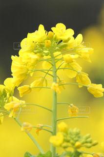 浜離宮庭園の菜の花の写真・画像素材[1051171]