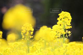 浜離宮庭園の菜の花の写真・画像素材[1051176]
