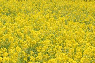 浜離宮庭園の菜の花の写真・画像素材[1051177]