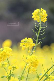浜離宮庭園の菜の花の写真・画像素材[1051180]