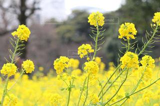 浜離宮庭園の菜の花の写真・画像素材[1051181]