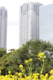 浜離宮庭園の菜の花の写真・画像素材[1051184]