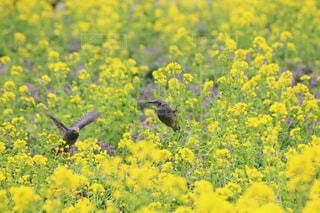 浜離宮庭園のヒヨドリと菜の花の写真・画像素材[1051185]