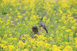 浜離宮庭園のヒヨドリと菜の花の写真・画像素材[1051186]