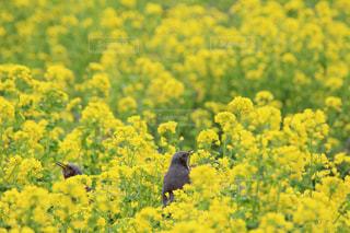 浜離宮庭園のヒヨドリと菜の花の写真・画像素材[1051187]