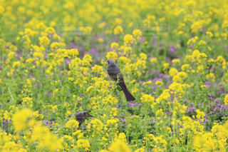 浜離宮庭園のヒヨドリと菜の花の写真・画像素材[1051188]