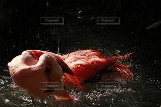 フラミンゴの水浴びの写真・画像素材[1156807]