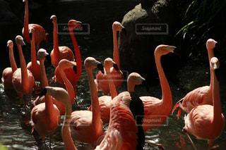 フラミンゴの集団の写真・画像素材[1156833]