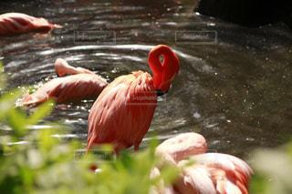 水浴びしてるフラミンゴの写真・画像素材[1156834]