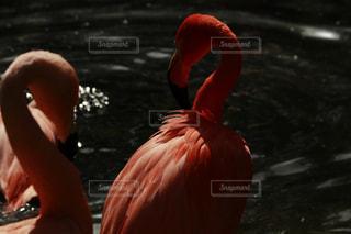 水浴びしてるフラミンゴの写真・画像素材[1156835]