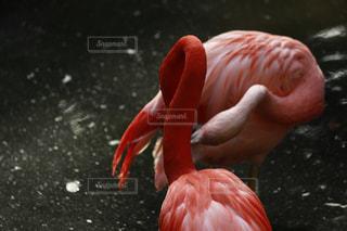 フラミンゴと水体の写真・画像素材[1156922]