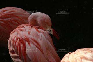 ピンク色のフラミンゴの写真・画像素材[1156923]