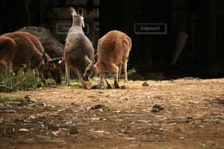 食事中のカンガルーの写真・画像素材[1163118]