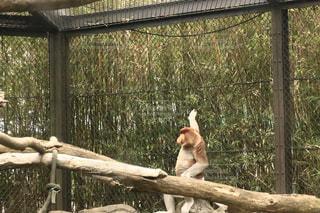 オッさんの格好をする猿の写真・画像素材[1163123]