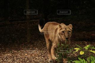 向かってくるライオンの写真・画像素材[1163133]