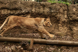 走るライオンの写真・画像素材[1163134]