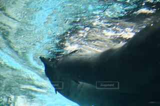 水のプールで泳ぐオットセイの写真・画像素材[1163139]
