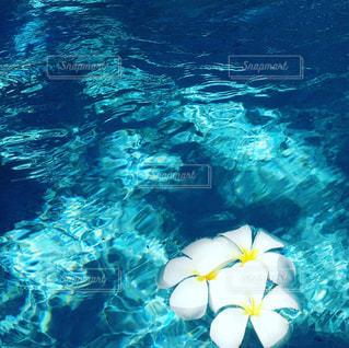 プールに落ちたプルメリアの写真・画像素材[969464]