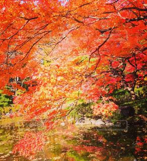 秋の紅葉の写真・画像素材[969467]