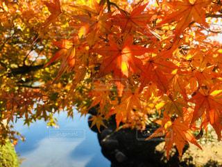 秋の紅葉の写真・画像素材[969477]