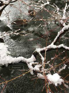 極寒の中泳ぐカルガモたちの写真・画像素材[969532]