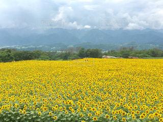 明野ひまわり畑の写真・画像素材[969968]