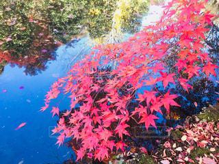 ピンクの花の木の写真・画像素材[969978]