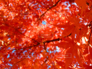 真っ赤なモミジの下での写真・画像素材[969979]