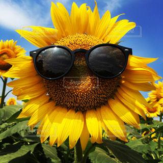 真夏のひまわりの写真・画像素材[970022]