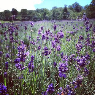 紫色の花一杯の花瓶の写真・画像素材[970032]