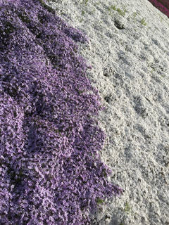 紫の花のグループの写真・画像素材[970034]