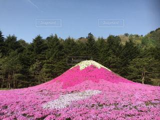 芝桜の富士山の写真・画像素材[970037]