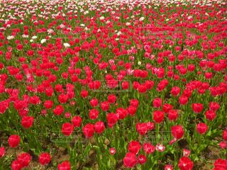 大きな赤い花が草に立っています。の写真・画像素材[971719]