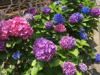 近くにバック グラウンドでフルダ Klager ライラック庭に紫の花のアップの写真・画像素材[1207582]