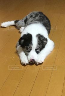 床に横たわってる犬の写真・画像素材[970731]
