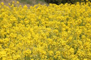 フィールド内の黄色の花の写真・画像素材[1099111]