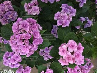 近くに紫の花の房のアップの写真・画像素材[969960]