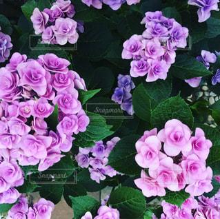 近くに紫の花の房のアップの写真・画像素材[969961]