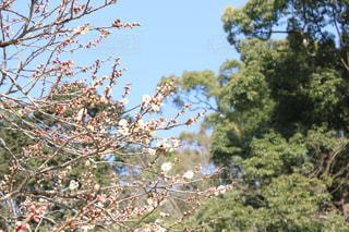 太宰府に咲く梅の写真・画像素材[1042751]