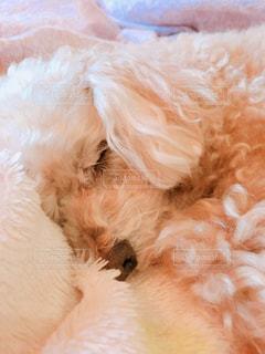ベッドの上で横になっている茶色と白犬の写真・画像素材[970266]