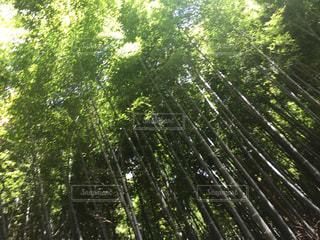 京都 竹林の写真・画像素材[972043]