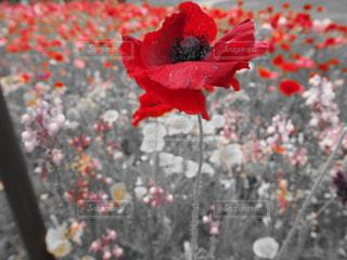 赤い花の写真・画像素材[1060218]